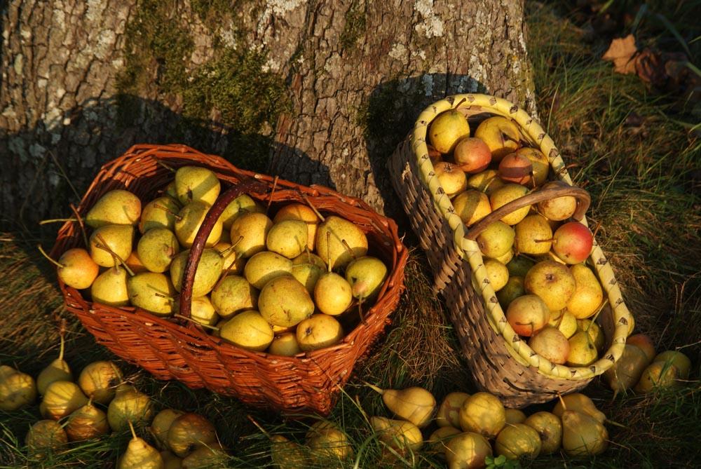 Sonne, Birne, Rot, Gelb, Obst